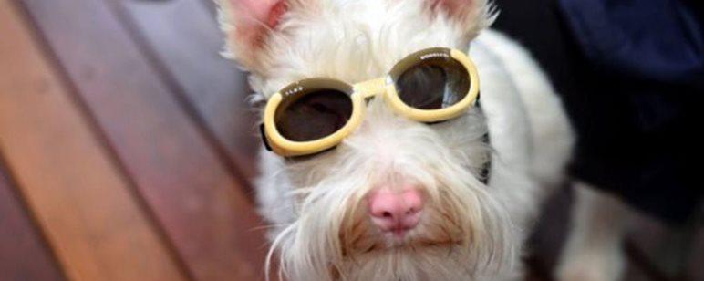 σκύλος με αλμπινισμό Σκύλος αλμπίνο σκύλος