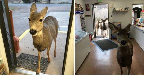 Ελαφίνα μπήκε σε μαγαζί γιατί πείναγε και μετά φώναξε και την οικογένεια της