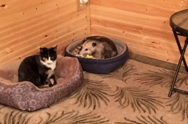 οπόσουμ γάτες Γάτα