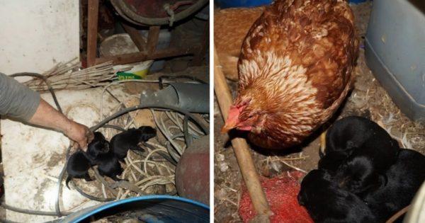 Χανιά: Κότα υιοθέτησε και φροντίζει τρία μικρά κουταβάκια