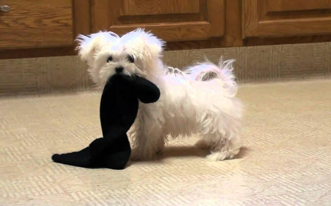 Σκύλος κάλτσα