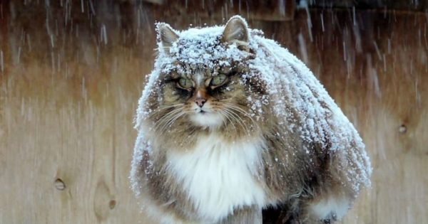 Οι παχουλές και χνουδωτές γάτες της Σιβηρίας