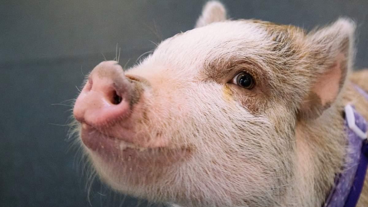 γουρούνι γουρουνάκι
