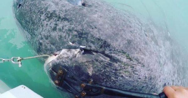 Δείτε τον γηραιότερο καρχαρία του κόσμου ,ετών 512 (video)