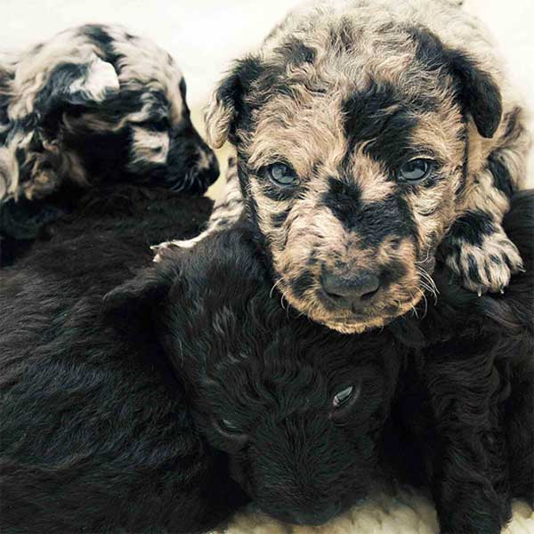 τριχώματα Σκύλος σκυλιά