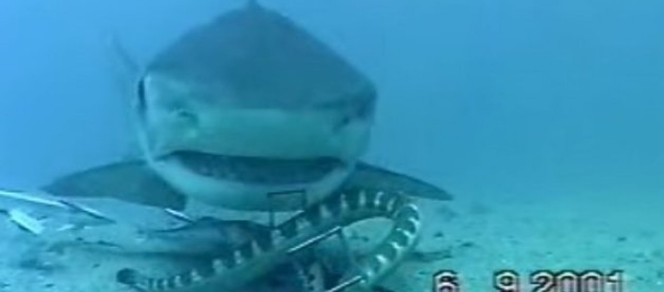 φίδι καρχαρίας Βίντεο
