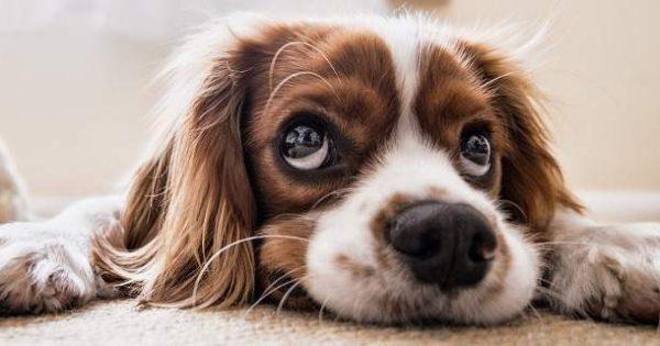 Ο σκύλος σας σάς χειραγωγεί με τα μάτια, σύμφωνα με έρευνα