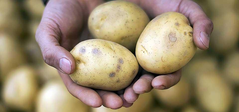 Σκύλος πατάτες