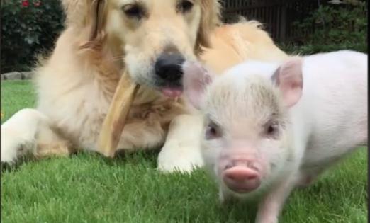Τι κοινό έχει ένα γουρουνάκι μ' έναν σκύλο; Κάνουν την καλύτερη παρέα! (Video)