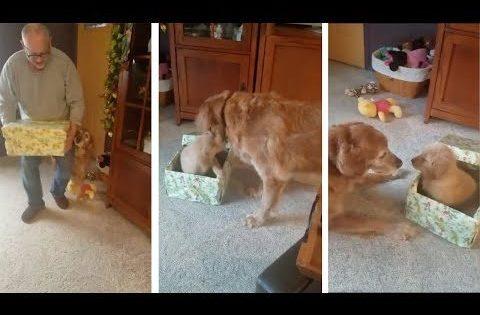 Σκύλος παίρνει ως δώρο ένα κουτάβι κι εμείς απλά λιώνουμε! (Video)