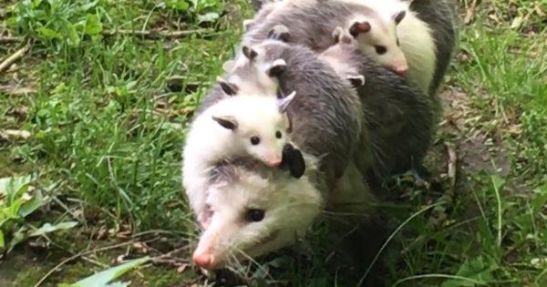 Δείτε τον υπέροχο τρόπο που η μια μητέρα οπόσουμ κουβαλάει τα μικρά της! (βίντεο)