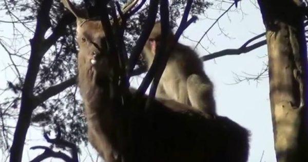 Πίθηκοι την πέφτουν σε ελάφια για να κάνουν σεξ