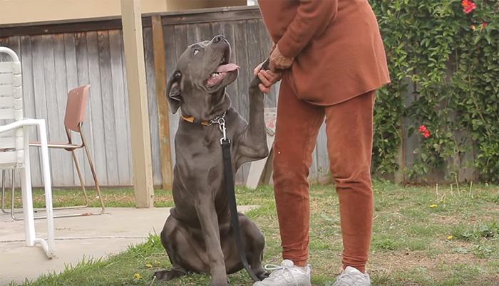 μαστίφ mastiff