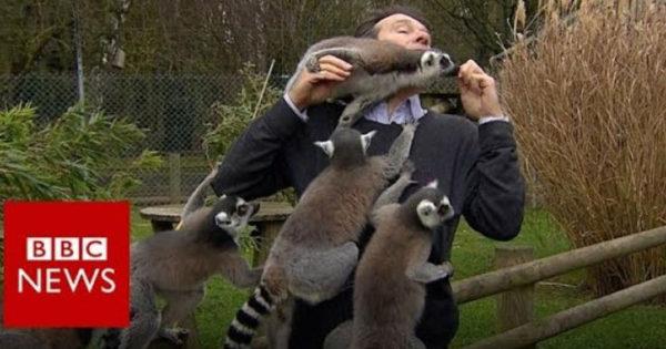 Ρεπόρτερ του BBC δέχεται… επίθεση από λεμούριους (Video)