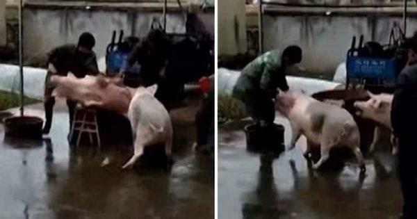 Γουρούνι σώζει τον φίλο που πρόκειται να το σφάξουν σε σφάγιο στην Κίνα