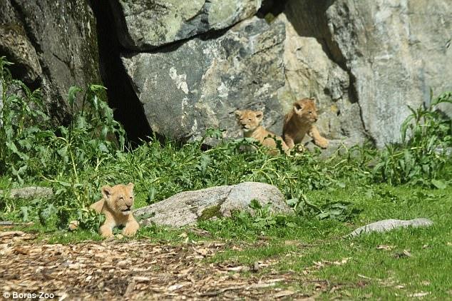 λιοντάρια λιονταράκια