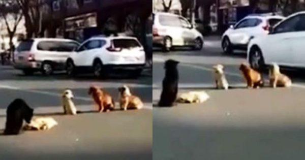 Αδέσποτα σκυλιά φρουρούν νεκρό φίλο τους που χτυπήθηκε από αυτοκίνητο
