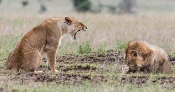 Λέαινα μαλώνει λιοντάρι και αυτό κρύβεται πίσω από την πατούσα του