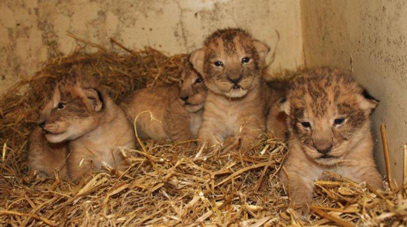 λιονταράκια ζωολογικός κήπος