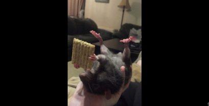 Αρουραίος τρώει ένα μπισκότο