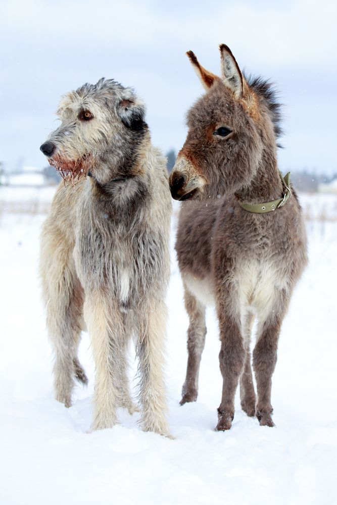 ράτσες σκύλων μεγαλόσωμες ράτσες σκύλων μεγαλόσωμες ράτσες