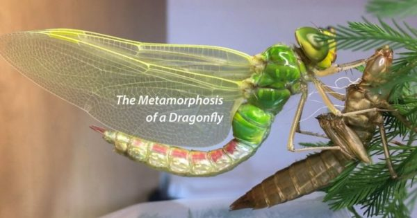 Βίντεο δείχνει την εκπληκτική μεταμόρφωση μιας λιβελούλας και είναι ένα πραγματικό θαύμα της φύσης