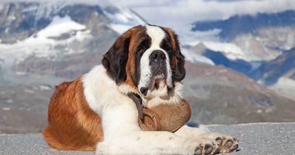 Τα σκυλιά του Αγίου Βερνάρδου και τα θαυμαστά τους έργα