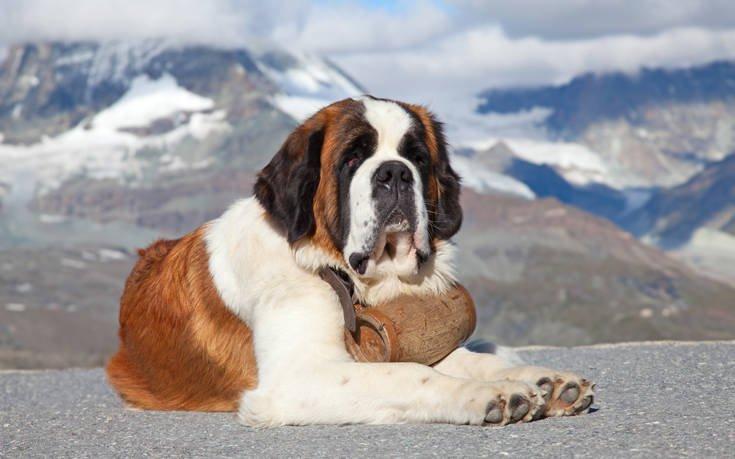 σκυλιά Αγίου Βερνάρδου Αγίου βερνάρδου
