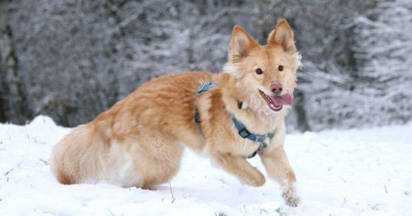 Σκύλοι απολαμβάνουν παιχνίδια στο χιόνι