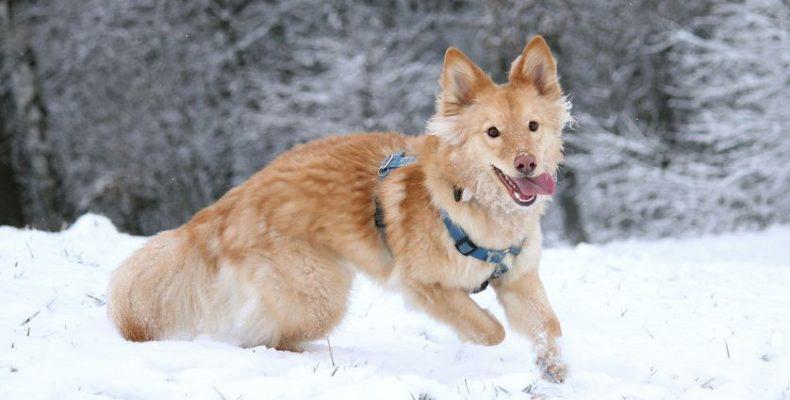 χιόνι σκυλιά