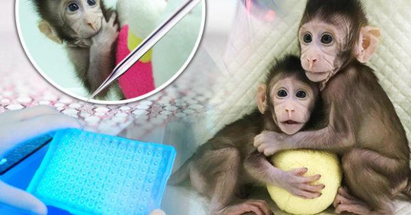 Επιστήμονες κλωνοποίησαν μαϊμού για πρώτη φορά και ανοίγουν το δρόμο για την κλωνοποίηση του ανθρώπου