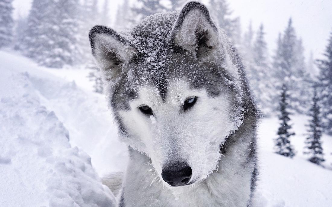 wolfdog1100