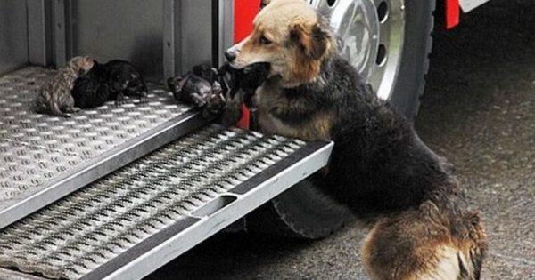 Αυτή η ηρωική σκυλίτσα πήδηξε σε ένα φλεγόμενο κτίριο για να σώσει τα μικρά της από τη φωτιά!