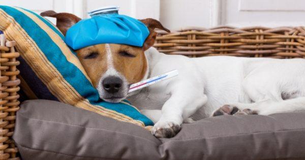 Πώς θα προστατεύσετε το σκύλο σας από το θανατηφόρο ιό της γρίπης H3N2