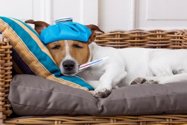 Σκύλος σκύλοι ιώσεις σκύλοι ασθένειες
