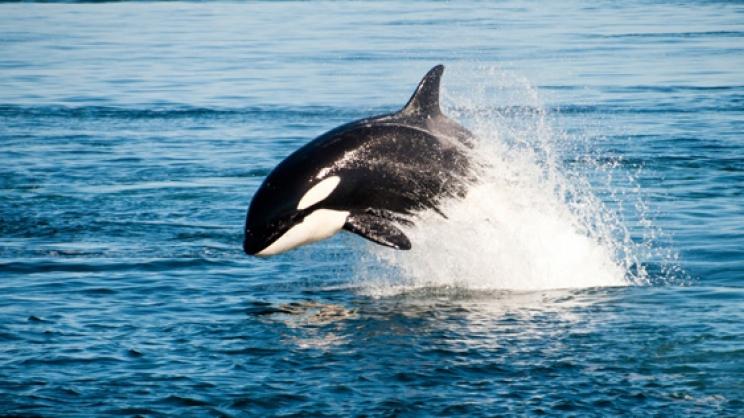 φάλαινα όρκα όρκα