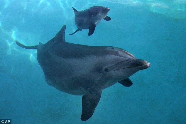 θηλυκά δελφίνια δελφίνια
