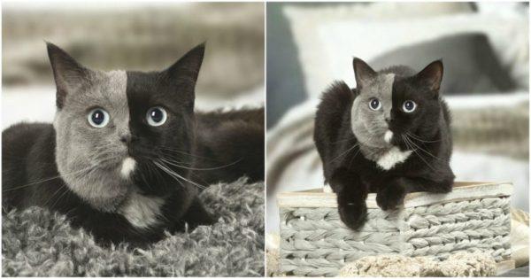 Γατάκι έχει ένα τέλειο χώρισμα στο πρόσωπό της ανάμεσα στο μαύρο και γκρι τρίχωμά της