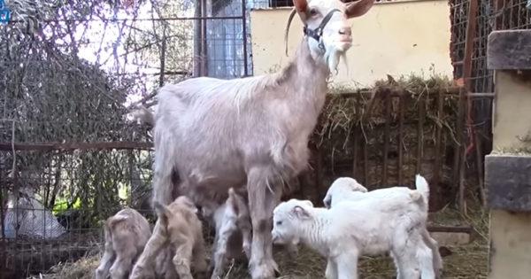 Εξι κατσικάκια γέννησε κατσίκα στην Καλαμάτα και έσπασε ρεκόρ
