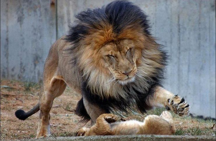 λιοντάρι λέαινα