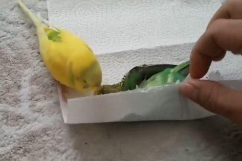 Συντετριμμένο από την απώλεια αυτό το πτηνό δεν αποχωρίζεται τον καλύτερό του φίλο