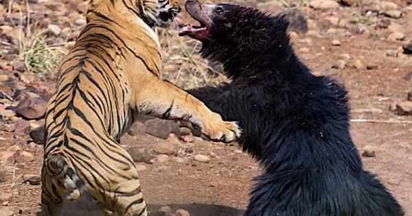 Σπάνια μονομαχία τίγρης με αρκούδα καταγράφτηκε σε βίντεο