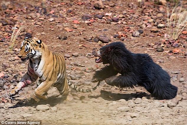 Τίγρης αρκούδα