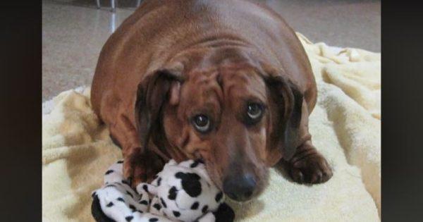 Η απίστευτη προσπάθεια ενός παχύσαρκου σκύλου να αδυνατίσει
