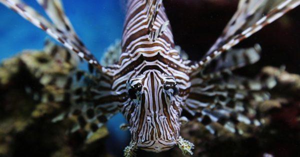 Τα 4 φονικά ψάρια των ελληνικών θαλασσών