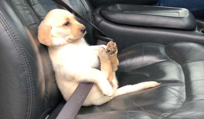 Σκύλος ζώνη ασφαλείας Σκύλος ζώνη ασφαλείας