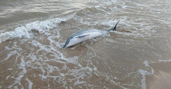 Γιατί δεν πρέπει ποτέ να βοηθήσουμε ένα εκβρασμένο δελφίνι να επιστρέψει στη θάλασσα;