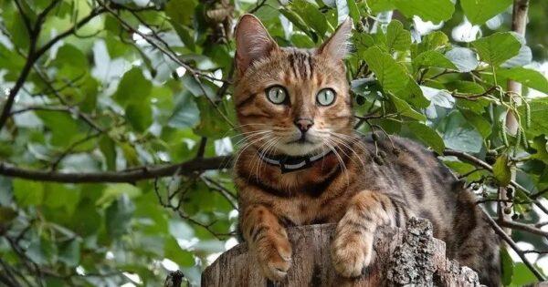 15 γάτες που ρίχνουν το λιγότερο τρίχωμα (με φωτογραφίες)