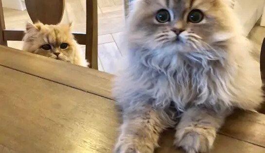 14 χαριτωμένα δεδομένα για τις περσικές γάτες