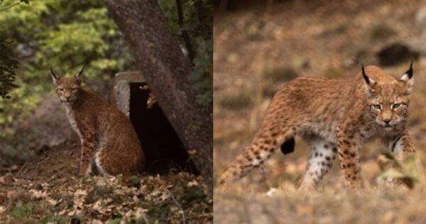 Ευρασιατικός Λύγκας: Ο Τίγρης Της Ευρώπης Έφτασε Στην Ελλάδα